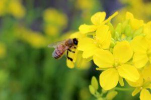 69.bee-pollen3
