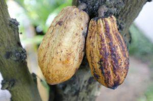 097.cacao3