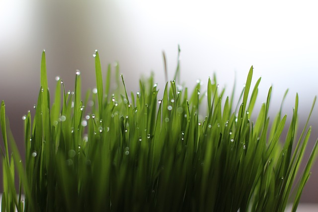172.wheatgrass2