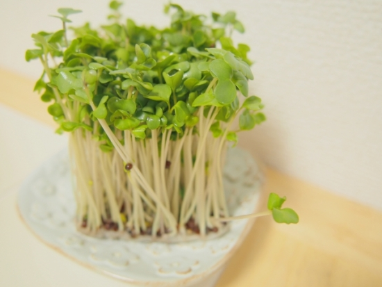 00.broccoli-sprout-01