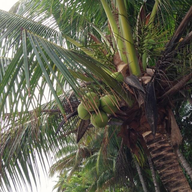 073.coconut3