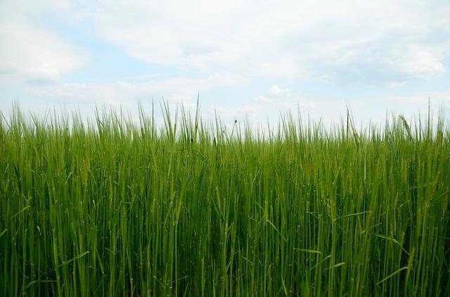 129.barley-grass4