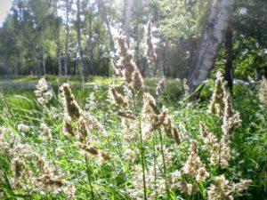 225.orchard-grass1