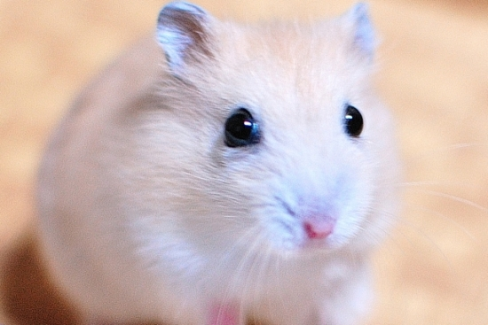 312.hamster-allergy-01