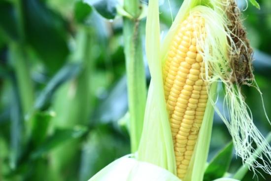 038.corn-04