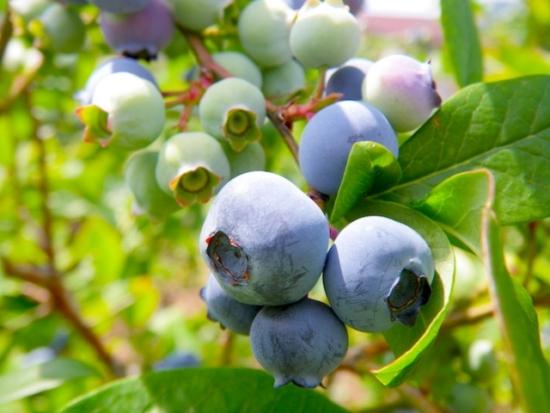 049.blueberry-03