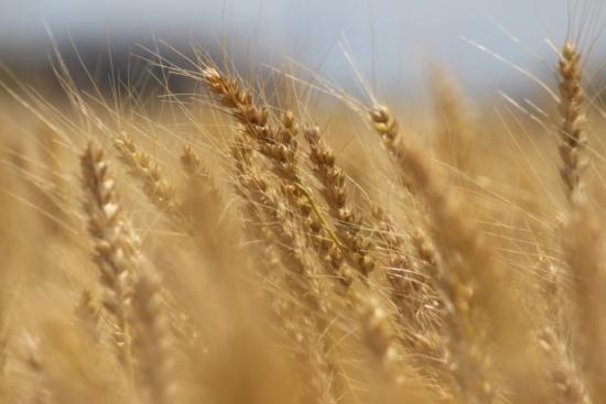 327.barley-tea-allergy-03