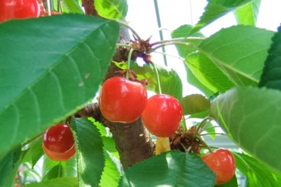 332.cherry-allergy-01