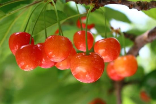 055.cherry-03