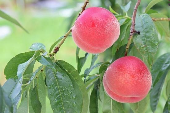 056.peach-01