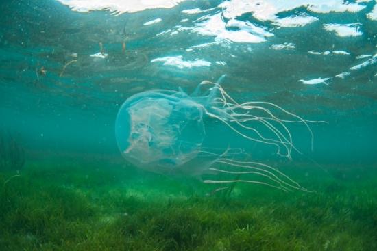 354.jellyfish-allergy-01